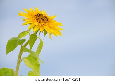 A bright yellow sunflower stands out against a clear blue sky in rural New Brunswick, Canada
