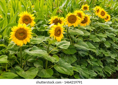 Bright yellow sunflowers in full bloom  in garden for oil improves skin health and promote cell regeneration
