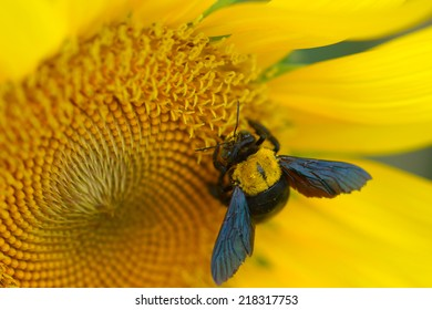 Bright yellow sunflowers and Great Carpenter Bee  (Xylocopa (Koptortosoma) aruana)