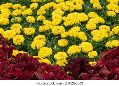 Bright yellow Tagetes erects flowers and blurred red Herbst's bloodleaves on the foreground - Shutterstock ID 2041265363