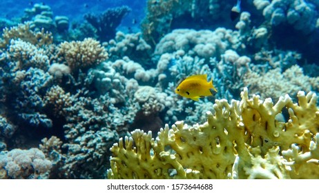 Bright Yellow Tropical Fish In The Ocean. Saltwater Fish In The Sea Near Coral Reef. Close Up Of Branching Fire Coral (Millepora alcicornis). Underwater Life.