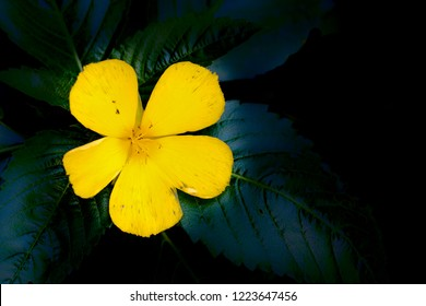 bright yellow tropical flower on green leaves damiana Turnera diffusa in black background texture