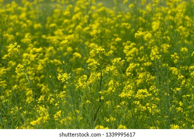 Bright Yellow Turnip Blossoms
