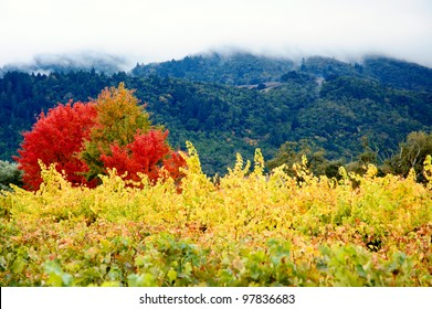 Bright yellow vineyard typical to Napa and Sonoma valleys. With deep green forests and mountains in the back.