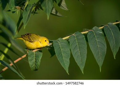A bright Yellow Warbler perched on a branch with a tiny green insect on a large green leaf.