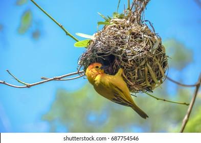 Bright yellow weaver bird in action building his nest.