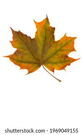 Bright yellow-green maple leaf on a white background