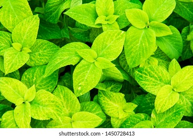 Bright yellow-green ornamental plant Coleus. Background. Mono-color flowerbed of decorative coleus. Sort Glory of Luxembourg. Botanical