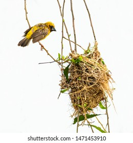 Bright and yellowish male Asian Golden Weaver perching on perch near its nest