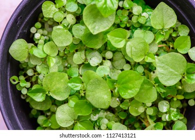 A bright of young plants in pots, Peperomia pellucida (Pellucida-leaved Pepper, Shiny leave) ; A quaint of greenish succulent plants. Seeing lighting shining throughout stems & heart shaped leaves.