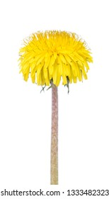 Bright young yellow dandellion flower isolated over white background