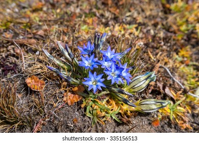Bright-blue Himalayan flowers growing at high altitude