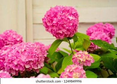 Brightening things up. Pink hydrangea in full bloom. Blossoming flowers in summer garden. Hydrangea blossom on sunny day. Flowering hortensia plant. Showy flowers in summer.