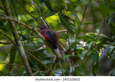 Brightful red Red-headed Trogon perching on a perch in a jungle in Fraser's Hill in Pahang, Malaysia.