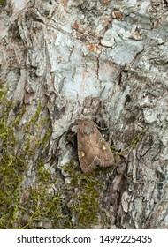 Bright-line brown-eye, Lacanobia oleracea on bark, this moth can be pest on tomato as their larvae feeds on the plants