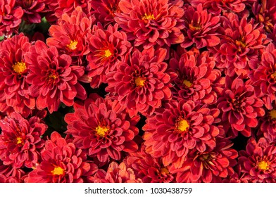 Brightly blooming red asters with the smell of autumn.