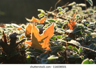 Brightly colored autumn leaves with dusting of frost.