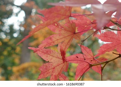 Brightly colored autumn leaves in the Washington Park Arboretum, Seattle