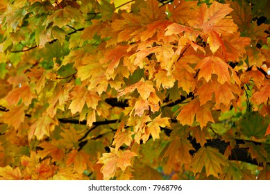 Brightly colored autumn maple leaves on tree.