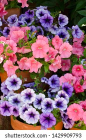 Brightly colored blue, purple, pink and red inpatients blooming in a flower pot.