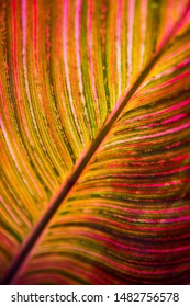 Brightly colored canna leaf with pink, orange, and green striations in dramatic full frame close-up backlit by tropical sun