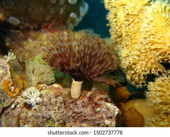 A brightly colored feather duster worm on a reef in the Red Sea