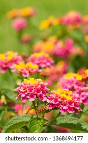 Brightly colored Lantana flowers blooming in summer