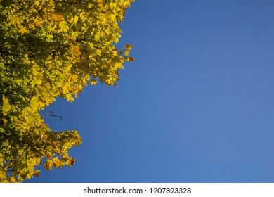 Brightly colored leaves of a tree against a blue sky on a clear autumn day