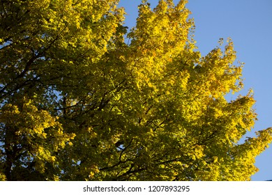 Brightly colored leaves of a tree on a clear autumn day with blue skies
