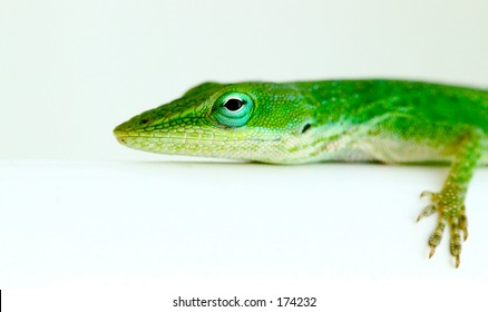 brightly colored lizard on a white background.