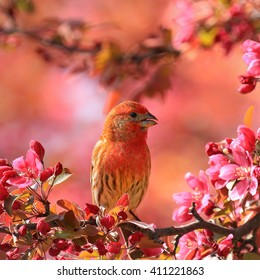 Brightly colored male house finch perched in crab apple tree and surrounded by bright pink crab apple blossoms.