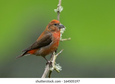 A brightly colored male red crossbill perches on a mossy branch before flying off to join the flock