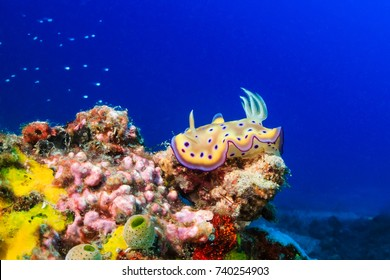 Brightly colored Nudibranch on a tropical coral reef
