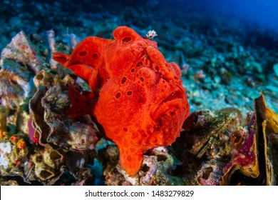 Brightly Colored Painted Frogfish (antennarius pictus) on a Tropical Coral Reef (Gato Island)