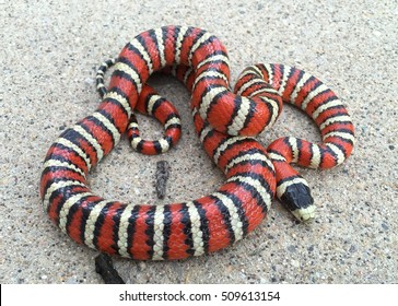 Brightly colored Sonoran Mountain Kingsnake, Lampropeltis pyromelana, a Coral Snake mimic, coiled in its habitat