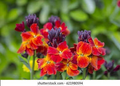 The brightly colored spring flowers of Erysimum cheiri (Cheiranthus) also known as the Wallflower.