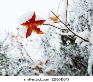 Brightly colored sweetgum leaf covered in snow on winter day
