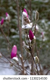 Brightly colorful, long stemmed flowers that are tightly furled and covered in snow in early spring