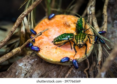Brightly coloured beetles feasting on some fruit