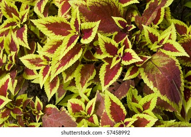 Brightly coloured Coleus Blumei Labiatae plant