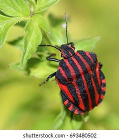 Brightly coloured European Minstrel Bug or Italian Striped shield bug (Graphosoma lineatum) on a plant in summer.