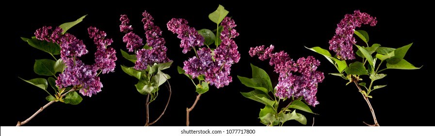 brightly glowing purple, violet lilac blossom flowers isolated on black, can be used as background