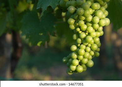 Brightly lit grapes on grapevine in a vineyard