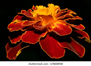 Brightly red yellow marigold flower, on a black background. Macro