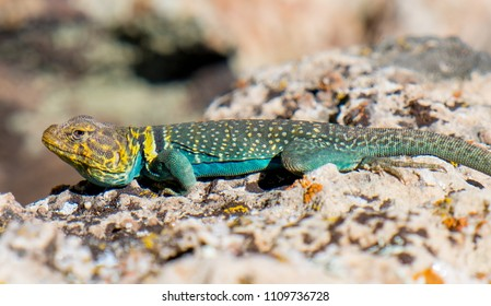 A brightly teal and yellow colored male Eastern Collared Lizard (Crotaphytus collaris) in Grand Canyon National Park, Coconino County, Arizona, USA.