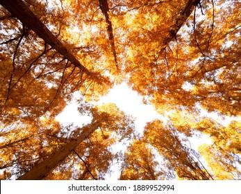 Brightly yellow leaves of Metasequoia. Taken at Mizumoto Park in Tokyo.