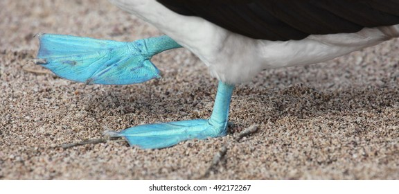 The brightly-coloured feet of a Blue-footed Booby on the Galapagos Archipelago, Ecuador.