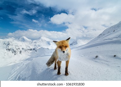 Brigth winter scenery in the Alps, with wild red fox