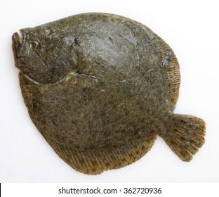 Brill, tasting flatfish, Turbot isolated on white