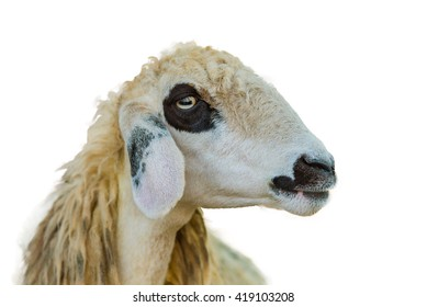 Brillen Schaf Sheep Face Isolation On White Background With Clipping Path
